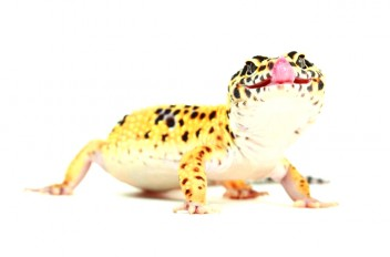 Leopard gecko anatomy