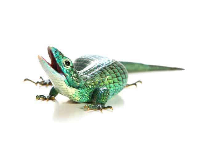 Arboreal Alligator Lizard