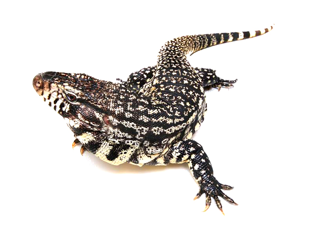 Black And White Tegu Salvator Merianae Reptiletalk Net