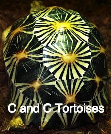 C & C Tortoise