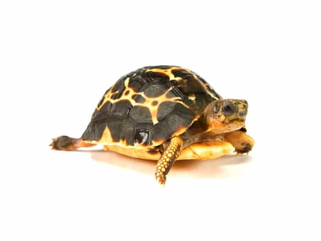 Spider Tortoise