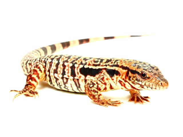 Red Tegu