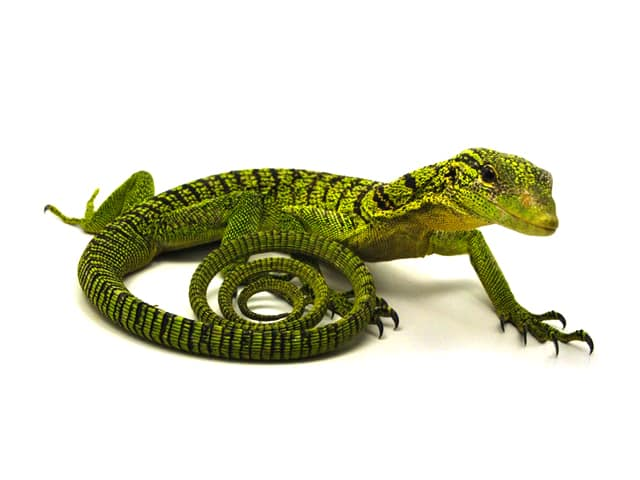 Yellow Tree Monitor