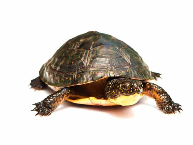 Blandings Turtle