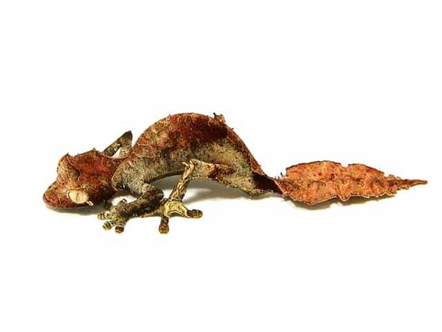 Satanic Leaf tail gecko