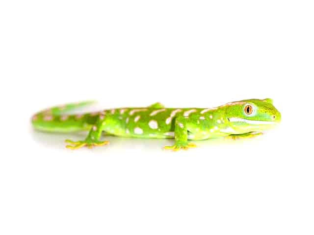 Northland Green Gecko