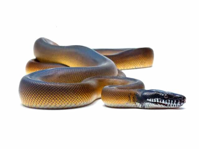 White-lipped Python (Bothrochilus albertisii) | ReptileTalk NET