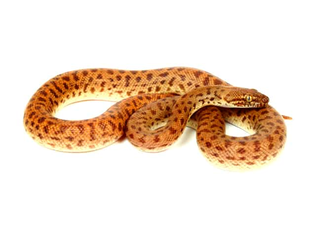 Stimsons Python