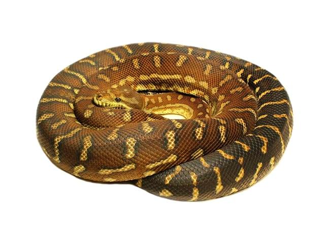 Centralian Python
