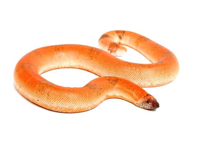 Indian Sand Boa