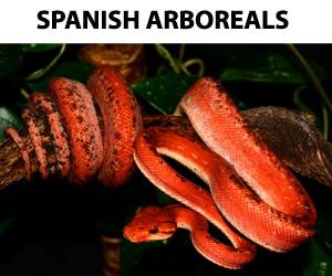 Spanish Arboreals