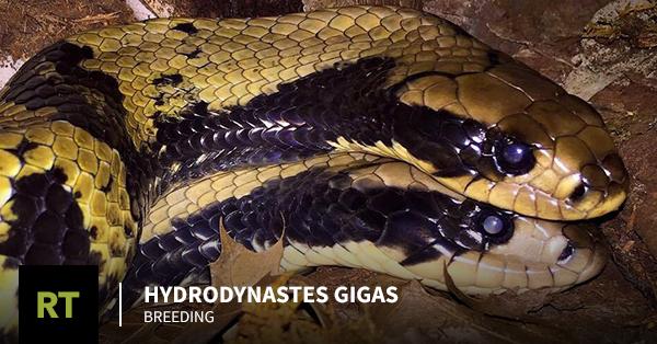 Hydrodynastes gigas Breeding