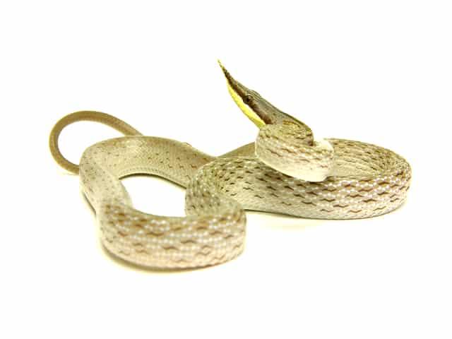 Rhino Rat Snake