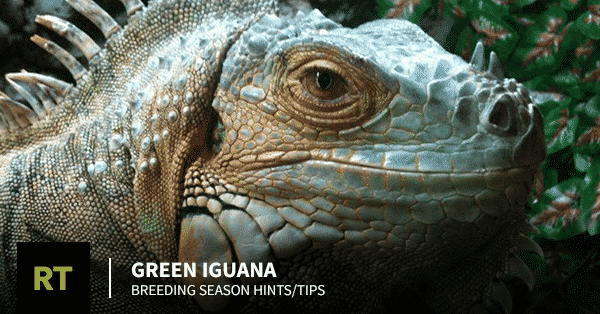 Green Iguana Breeding Season
