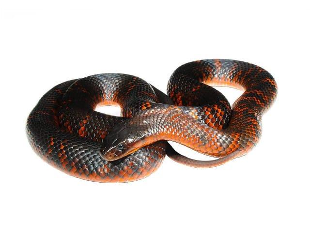 Collet's Snake
