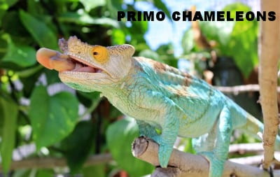 Primo Chameleons