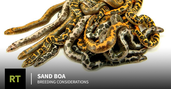 Sand Boa Breeding Considerations