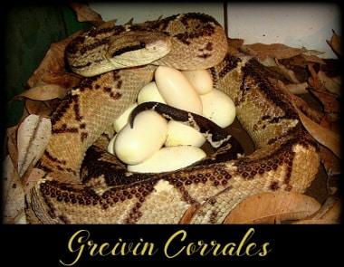 Greivin Corrales