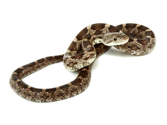 Pantherophis obsoletus