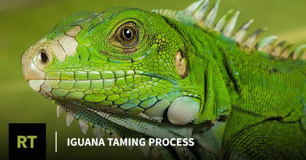 Iguana Taming Process