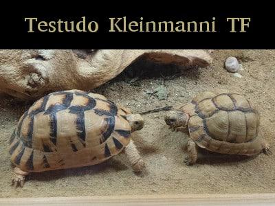 Testudo Kleinmanni TF