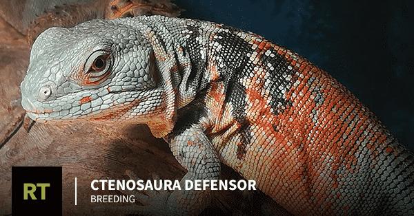 Ctenosaura defensor Breeding