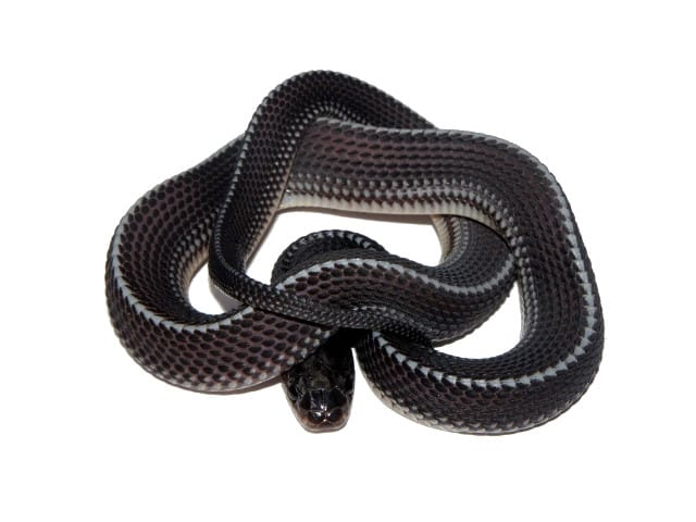Cape File Snake