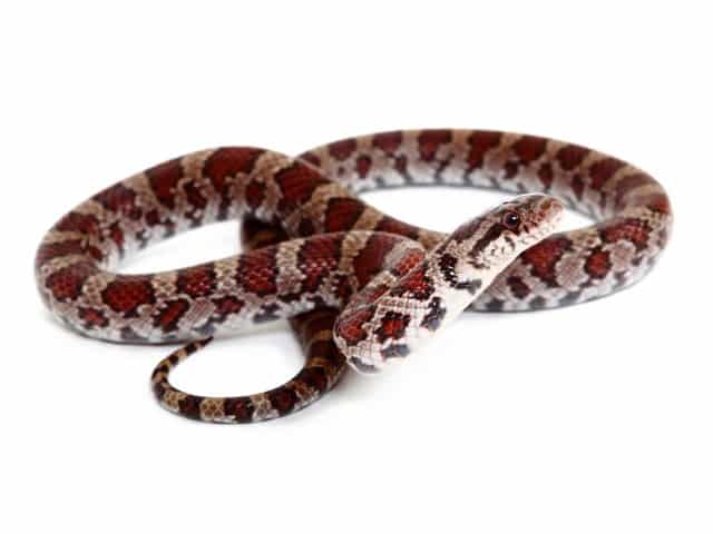 Lampropeltis triangulum