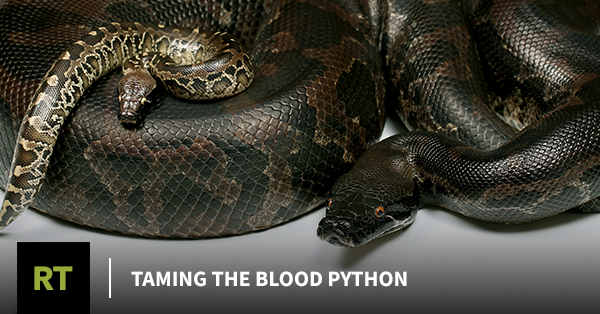 Taming The Blood Python